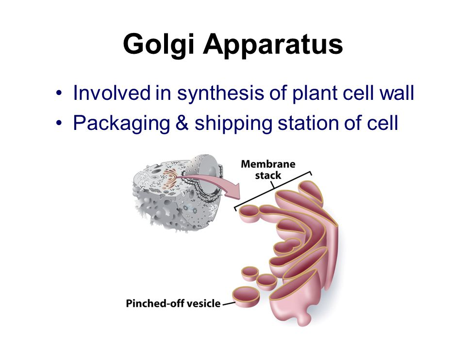 Golgi Apparatus Involved in synthesis of plant cell wall Packaging & shipping station of cell