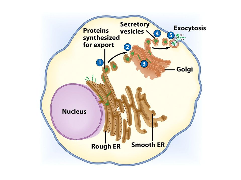 Lysosomes Contain digestive enzymes Functions –Aid in cell renewal –Break down old cell parts –Digests invaders