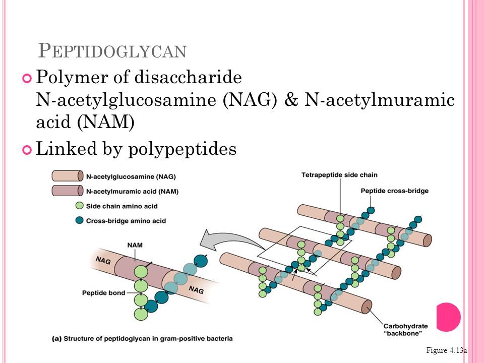 Polymer of disaccharide N-acetylglucosamine (NAG) & N-acetylmuramic acid (NAM) Linked by polypeptides P EPTIDOGLYCAN Figure 4.13a