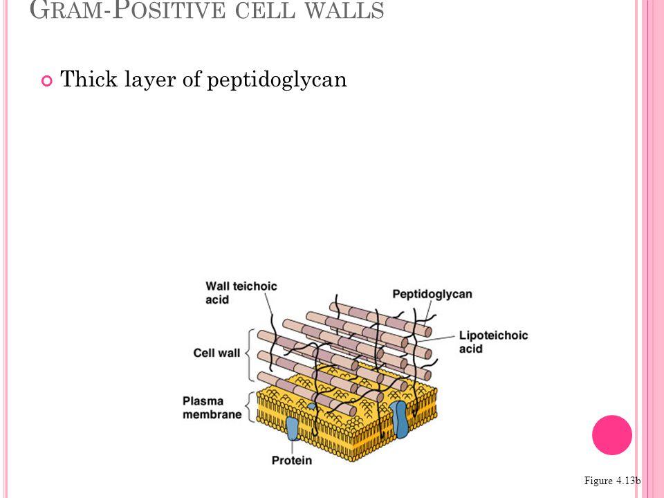 G RAM -P OSITIVE CELL WALLS Figure 4.13b Thick layer of peptidoglycan