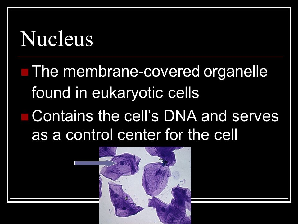 Nucleus The membrane-covered organelle found in eukaryotic cells Contains the cell's DNA and serves as a control center for the cell