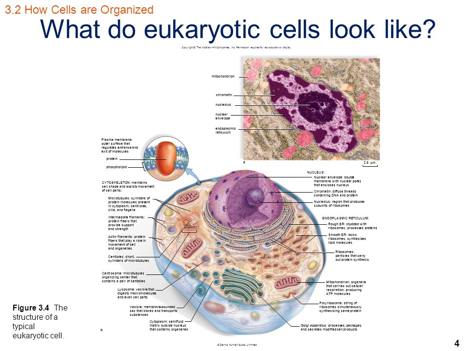4 What do eukaryotic cells look like.
