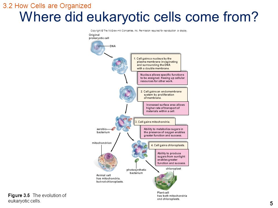 5 Where did eukaryotic cells come from.