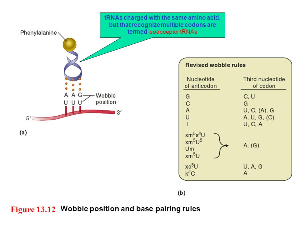 Wobble position and base pairing rules Figure 13.12 tRNAs charged with the same amino acid, but that recognize multiple codons are termed isoacceptor