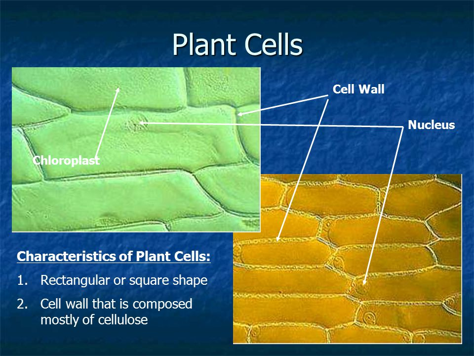 Plant Cells Characteristics of Plant Cells: 1.Rectangular or square shape 2.Cell wall that is composed mostly of cellulose Cell Wall Nucleus Chloropla