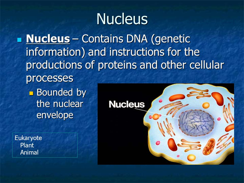 Nucleus Nucleus – Contains DNA (genetic information) and instructions for the productions of proteins and other cellular processes Nucleus – Contains