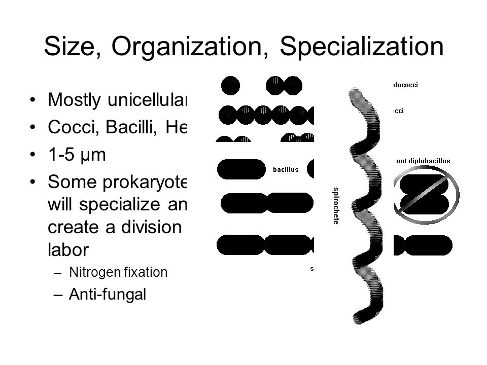 Size, Organization, Specialization Mostly unicellular Cocci, Bacilli, Helical 1-5 µm Some prokaryotes will specialize and create a division of labor –Nitrogen fixation –Anti-fungal