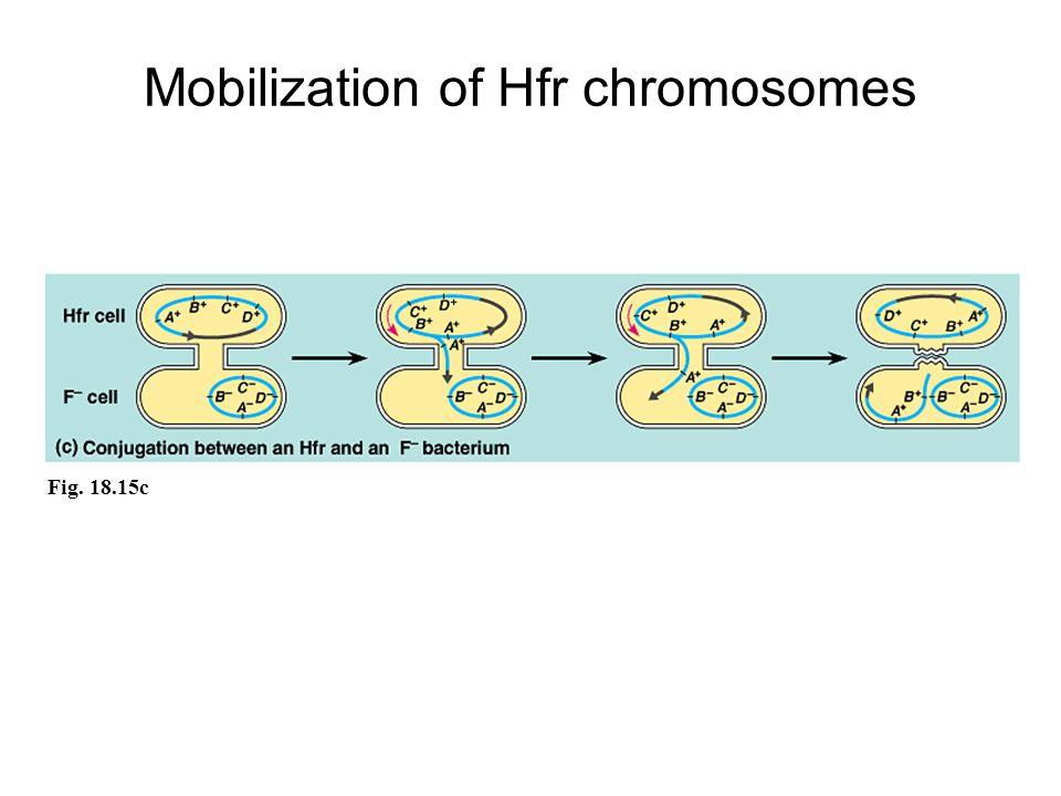 Fig. 18.15c Mobilization of Hfr chromosomes