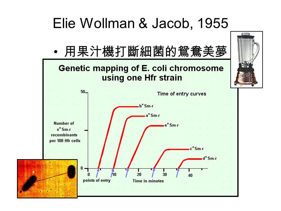 Elie Wollman & Jacob, 1955 用果汁機打斷細菌的鴛鴦美夢