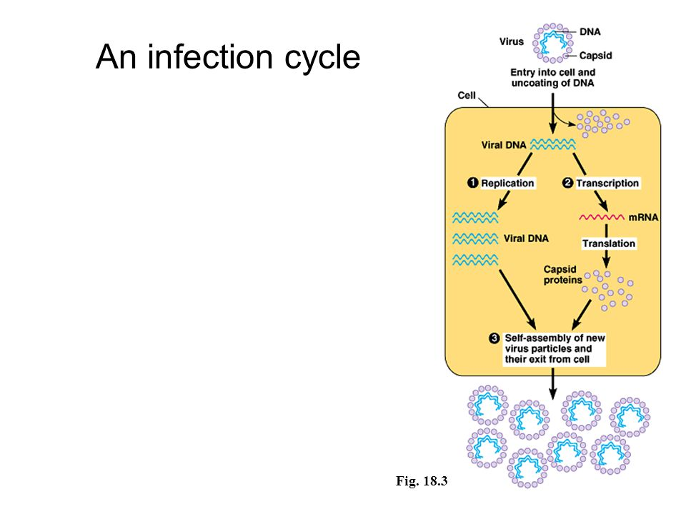 An infection cycle Fig. 18.3