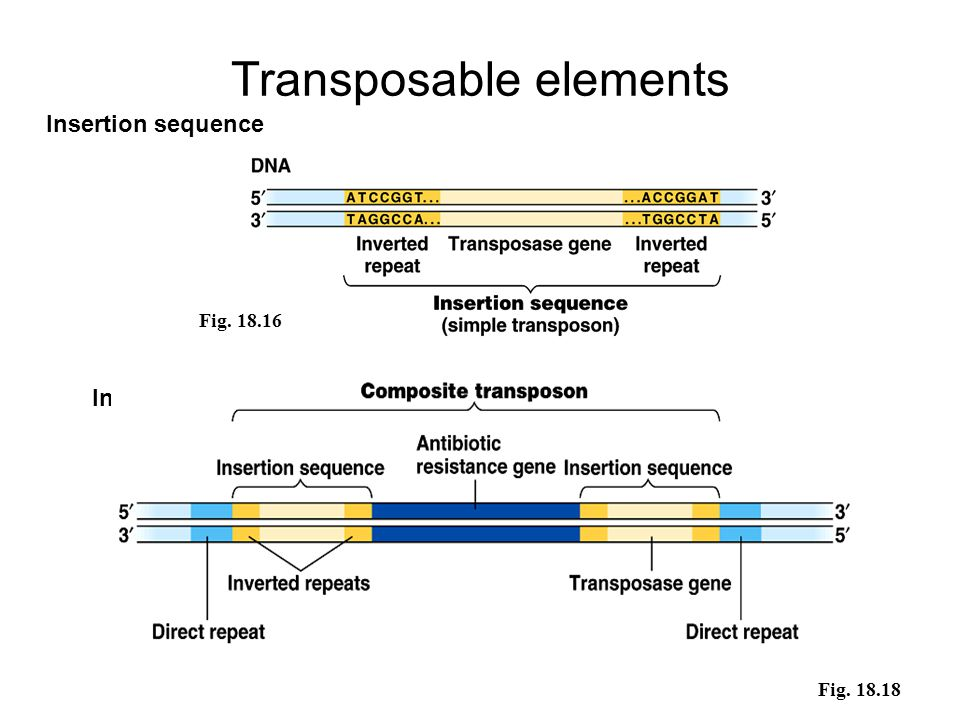 Transposable elements Insertion sequence Fig. 18.16 Fig. 18.18