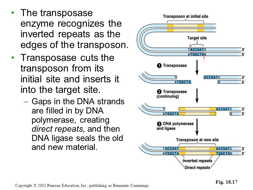 The transposase enzyme recognizes the inverted repeats as the edges of the transposon.