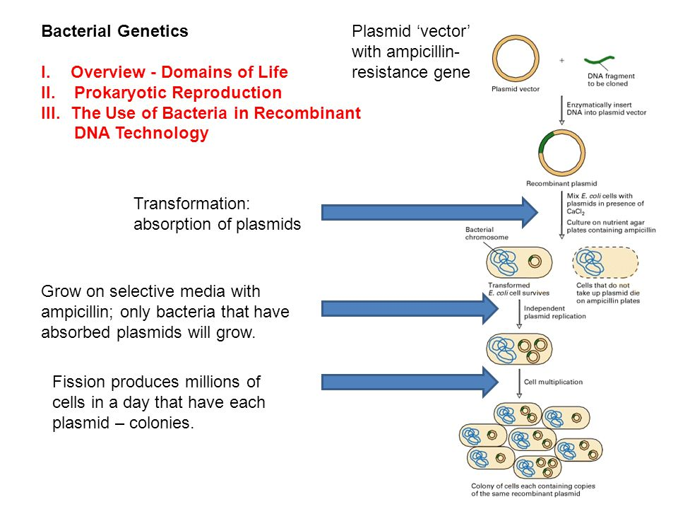 Bacterial Genetics I.Overview - Domains of Life II.