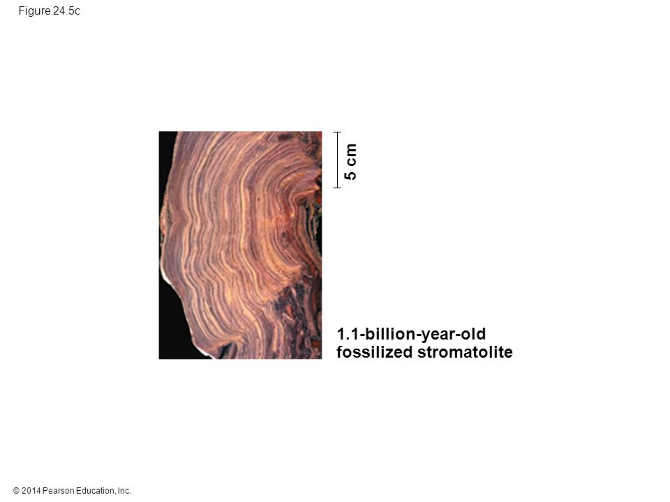 © 2014 Pearson Education, Inc. Figure 24.5c 5 cm 1.1-billion-year-old fossilized stromatolite