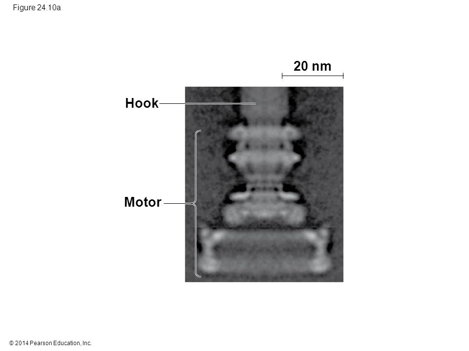 © 2014 Pearson Education, Inc. Figure 24.10a 20 nm Hook Motor