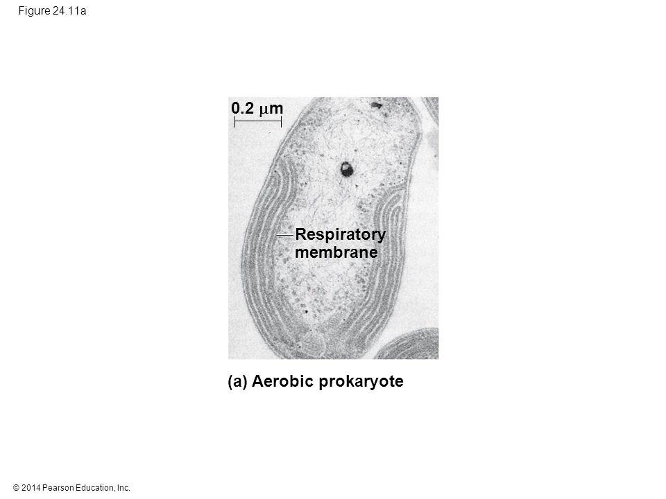 © 2014 Pearson Education, Inc. Figure 24.11a Respiratory membrane 0.2  m (a) Aerobic prokaryote