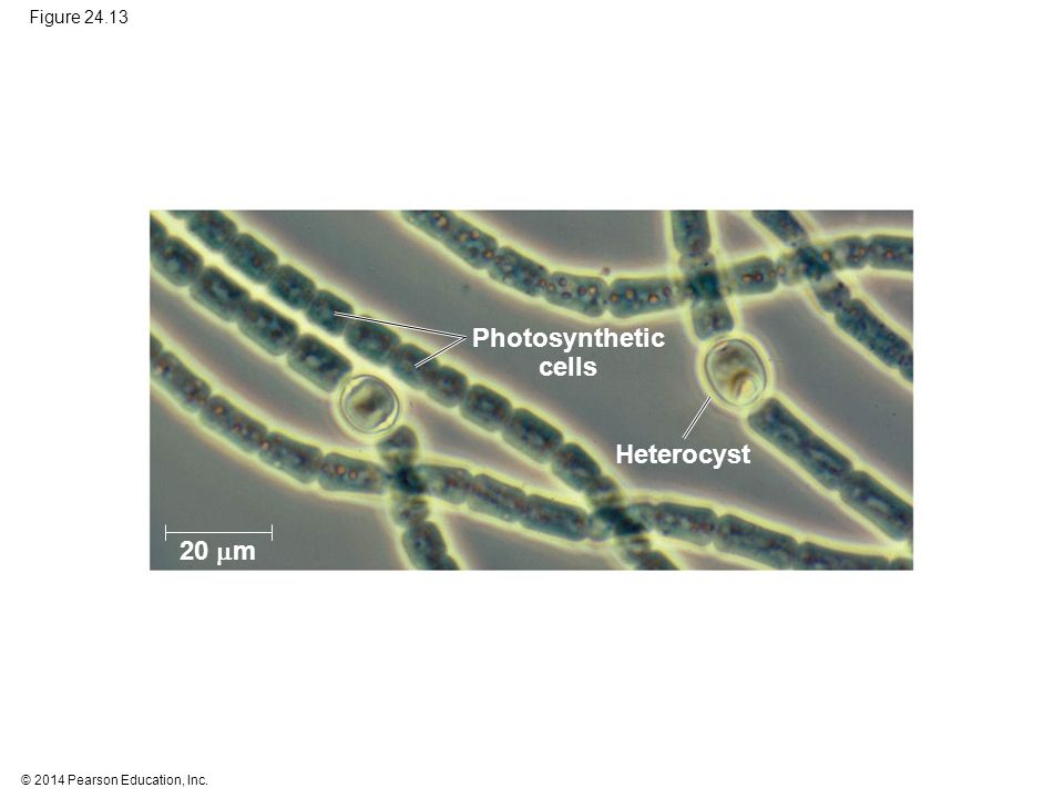 © 2014 Pearson Education, Inc. Figure 24.13 20  m Heterocyst Photosynthetic cells