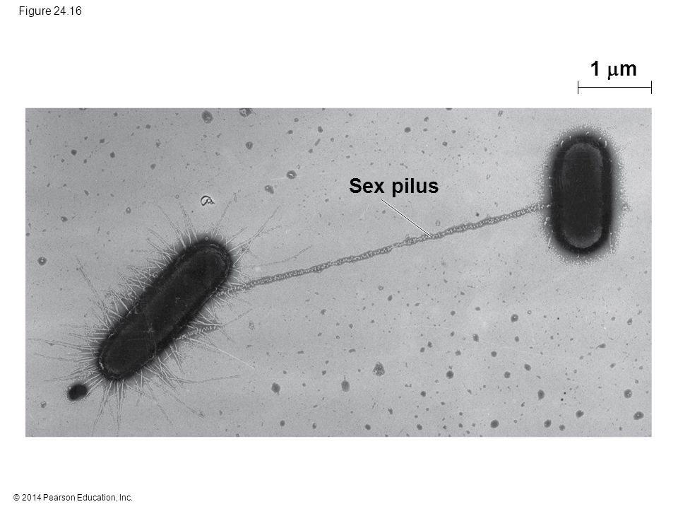© 2014 Pearson Education, Inc. Figure 24.16 Sex pilus 1  m