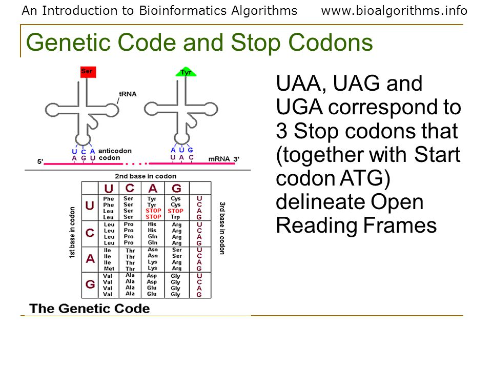 An Introduction to Bioinformatics Algorithmswww.bioalgorithms.info UAA, UAG and UGA correspond to 3 Stop codons that (together with Start codon ATG) delineate Open Reading Frames Genetic Code and Stop Codons