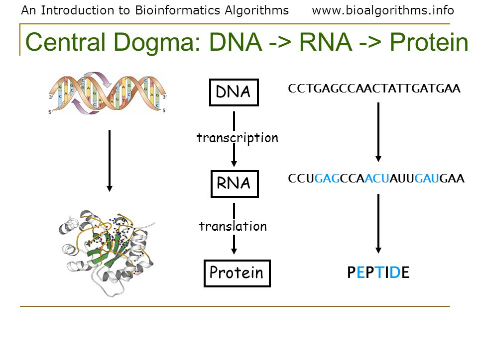 An Introduction to Bioinformatics Algorithmswww.bioalgorithms.info Protein RNA DNA transcription translation CCTGAGCCAACTATTGATGAA PEPTIDEPEPTIDE CCUGAGCCAACUAUUGAUGAA Central Dogma: DNA -> RNA -> Protein
