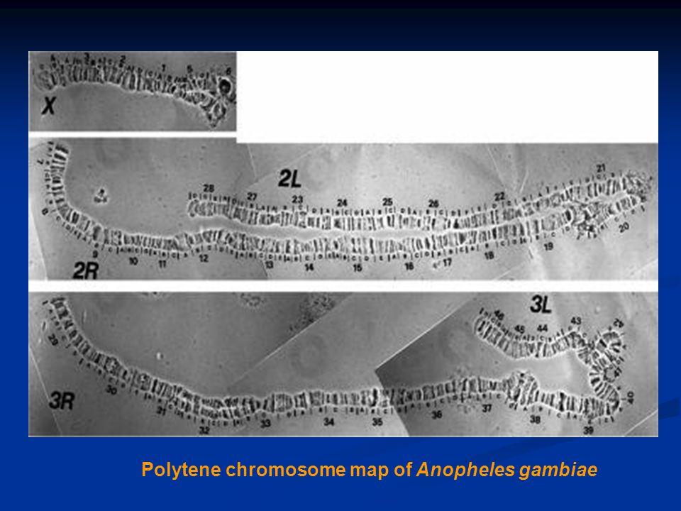 Figure 3. Polytene chromosome map of Anopheles gambiae