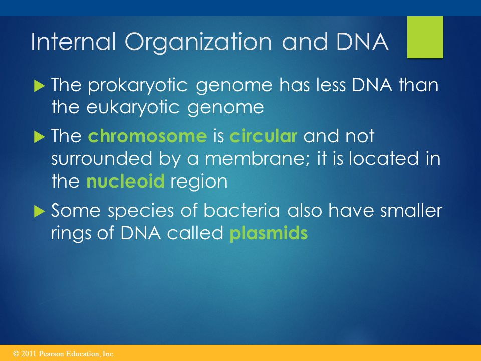 Internal Organization and DNA  The prokaryotic genome has less DNA than the eukaryotic genome  The chromosome is circular and not surrounded by a membrane; it is located in the nucleoid region  Some species of bacteria also have smaller rings of DNA called plasmids © 2011 Pearson Education, Inc.