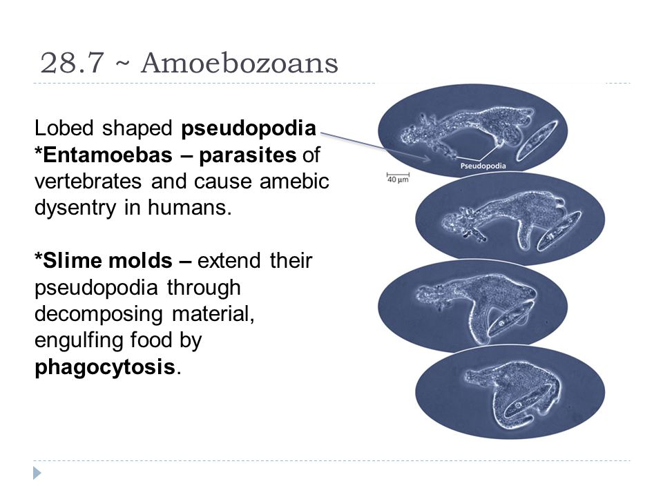 28.7 ~ Amoebozoans Lobed shaped pseudopodia *Entamoebas – parasites of vertebrates and cause amebic dysentry in humans. *Slime molds – extend their ps