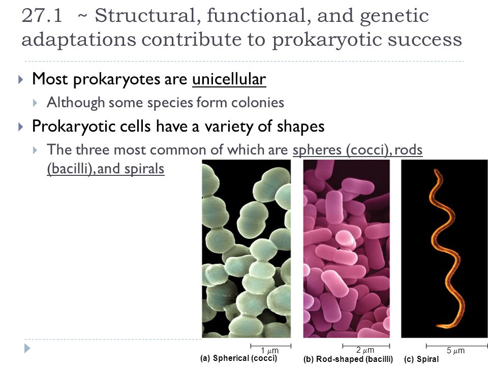 27.1 ~ Structural, functional, and genetic adaptations contribute to prokaryotic success  Most prokaryotes are unicellular  Although some species fo