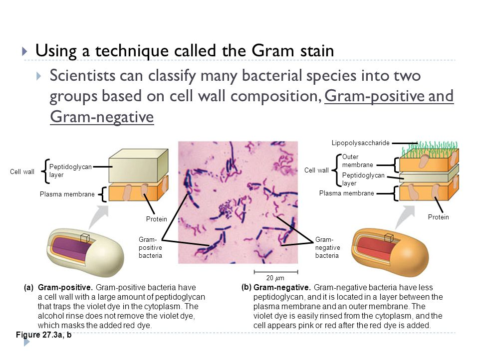 Bacteria  Diverse nutritional types  Are scattered among the major groups of bacteria  The two largest groups are  The proteobacteria and the Gram-positive bacteria