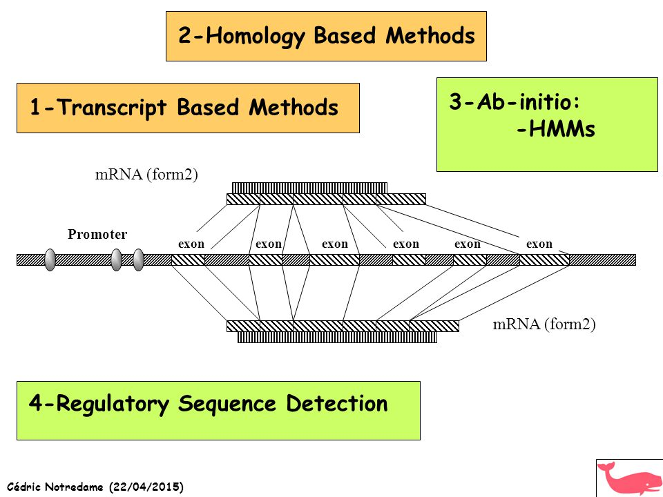 2-Homology Based Methods1-Transcript Based Methods3-Ab-initio: -HMMs 4-Regulatory Sequence Detection Promoter mRNA (form2) exon mRNA (form2)