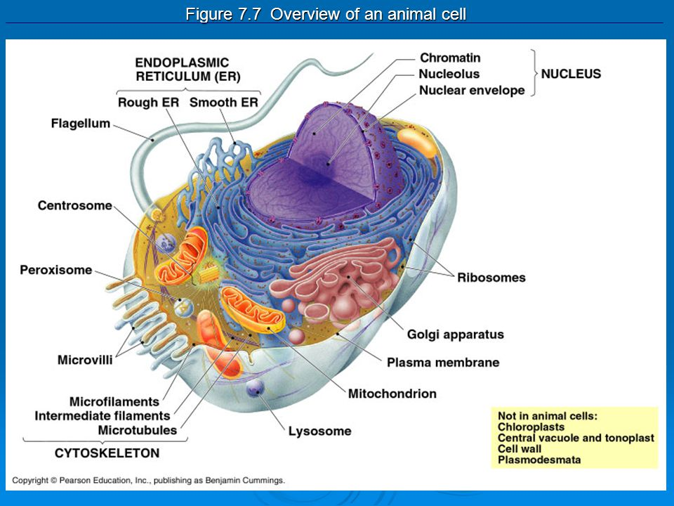 Figure 7.7 Overview of an animal cell