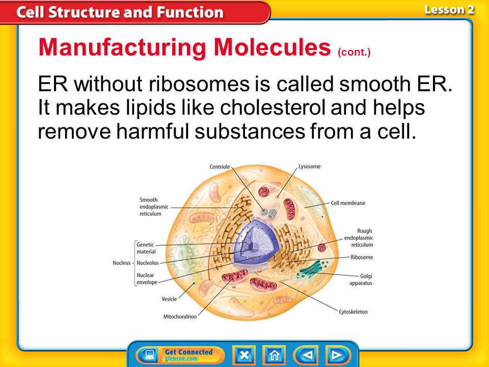 Lesson 2 Ribosomes are in a cell's cytoplasm and make proteins.