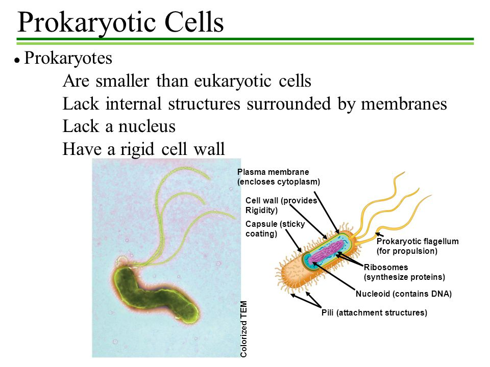 Prokaryotic Cells Plasma membrane (encloses cytoplasm) Cell wall (provides Rigidity) Capsule (sticky coating) Prokaryotic flagellum (for propulsion) R