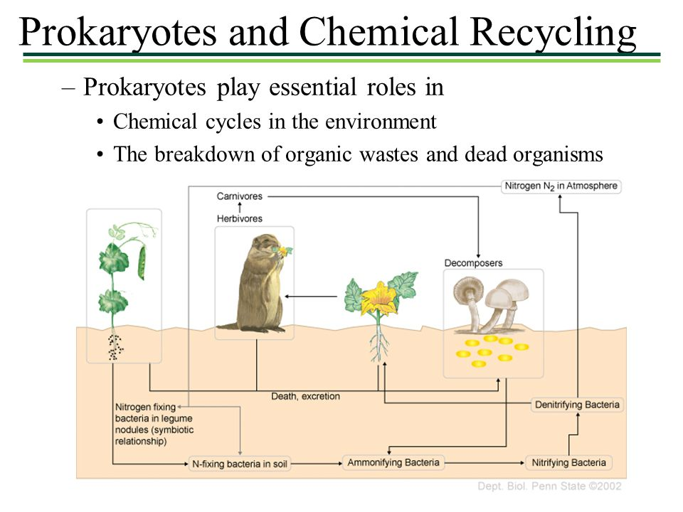 Prokaryotes and Chemical Recycling –Prokaryotes play essential roles in Chemical cycles in the environment The breakdown of organic wastes and dead organisms