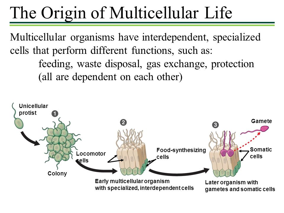The Origin of Multicellular Life Multicellular organisms have interdependent, specialized cells that perform different functions, such as: feeding, waste disposal, gas exchange, protection (all are dependent on each other) Unicellular protist Colony Locomotor cells Food-synthesizing cells Early multicellular organism with specialized, interdependent cells Later organism with gametes and somatic cells Somatic cells Gamete
