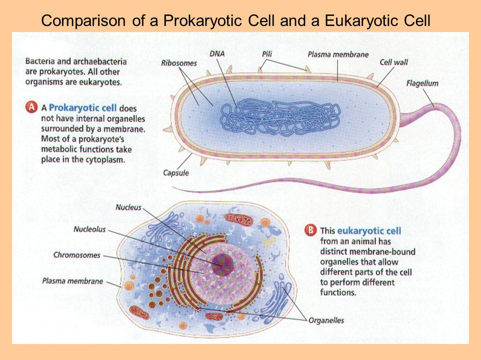 Comparison of a Prokaryotic Cell and a Eukaryotic Cell