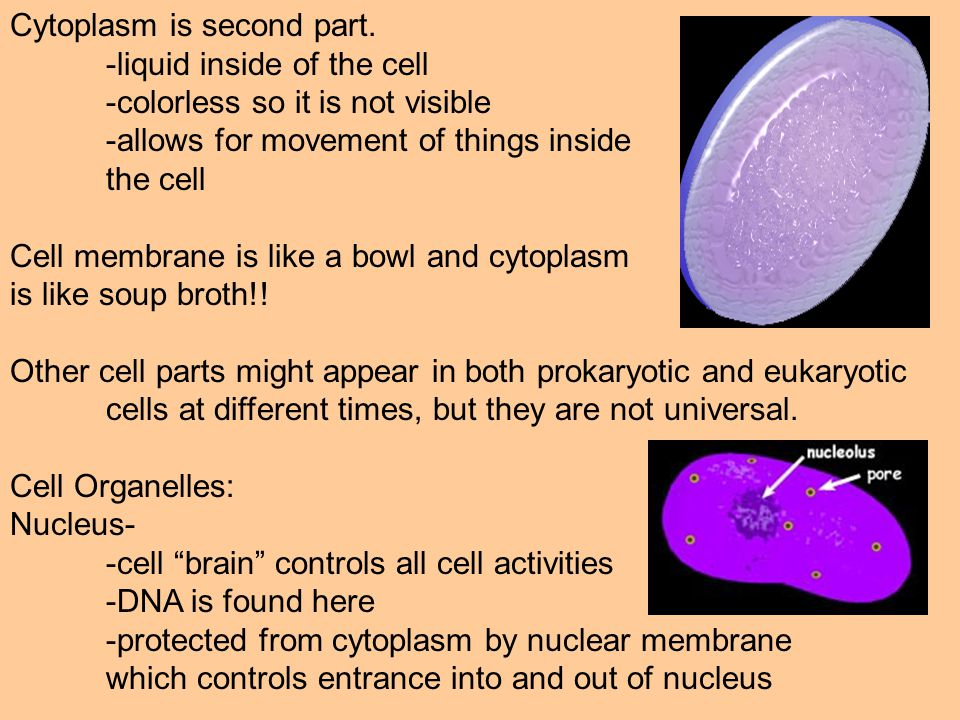 Cytoplasm is second part.