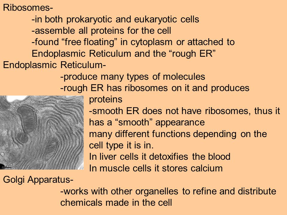 Ribosomes- -in both prokaryotic and eukaryotic cells -assemble all proteins for the cell -found free floating in cytoplasm or attached to Endoplasmic Reticulum and the rough ER Endoplasmic Reticulum- -produce many types of molecules -rough ER has ribosomes on it and produces proteins -smooth ER does not have ribosomes, thus it has a smooth appearance many different functions depending on the cell type it is in.