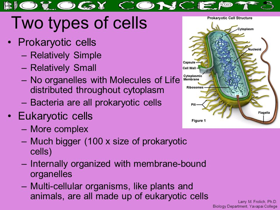 Larry M. Frolich, Ph.D. Biology Department, Yavapai College Two types of cells Prokaryotic cells –Relatively Simple –Relatively Small –No organelles w