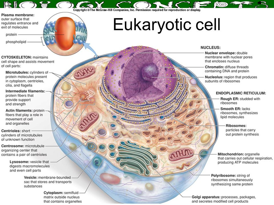 Larry M. Frolich, Ph.D. Biology Department, Yavapai College Eukaryotic cell