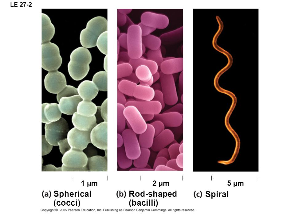 LE 27-2 Spherical (cocci) Rod-shaped (bacilli) Spiral 5 µm2 µm1 µm