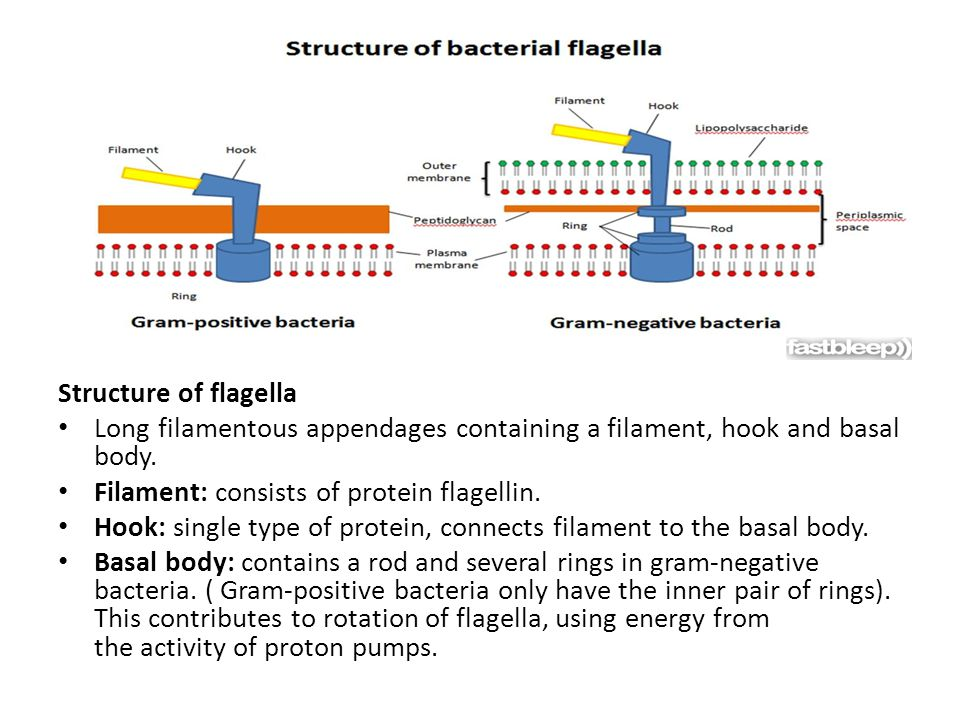 Structure of flagella Long filamentous appendages containing a filament, hook and basal body.
