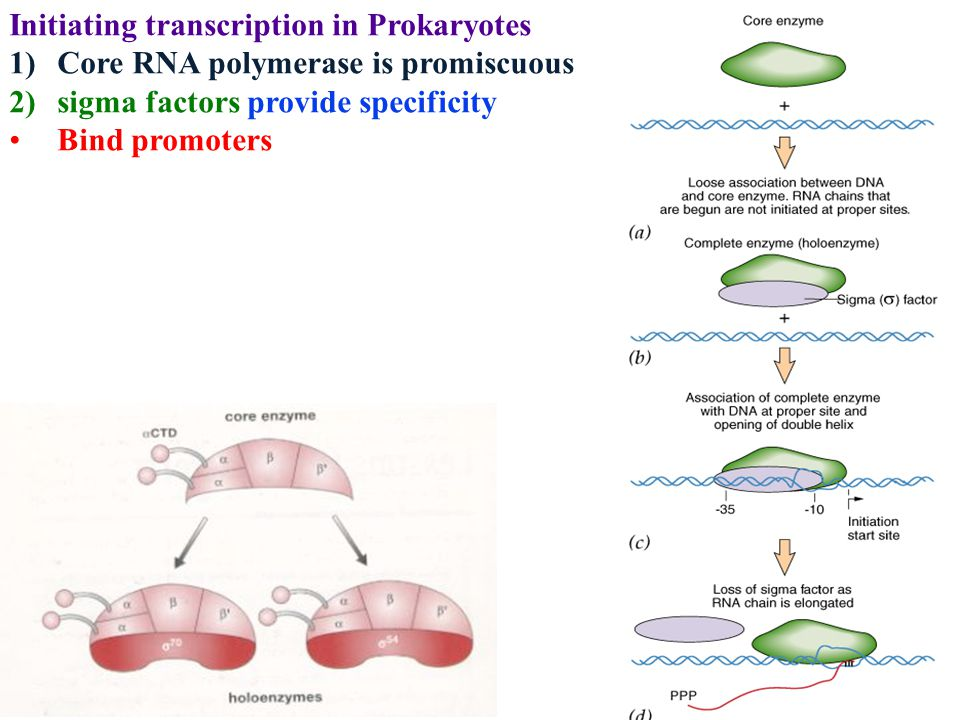 Initiating transcription in Prokaryotes 1)Core RNA polymerase is promiscuous 2)sigma factors provide specificity Bind promoters
