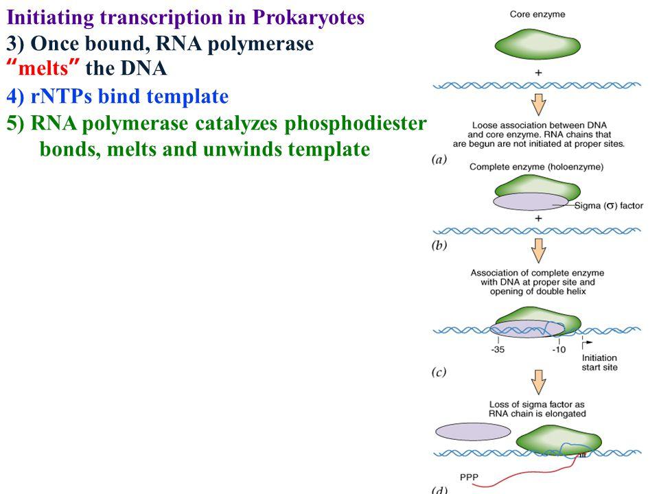 "Initiating transcription in Prokaryotes 3) Once bound, RNA polymerase ""melts"" the DNA 4) rNTPs bind template 5) RNA polymerase catalyzes phosphodieste"