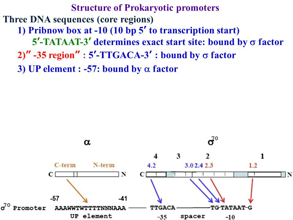 Structure of Prokaryotic promoters Three DNA sequences (core regions) 1) Pribnow box at -10 (10 bp 5 ' to transcription start) 5 ' -TATAAT-3 ' determi