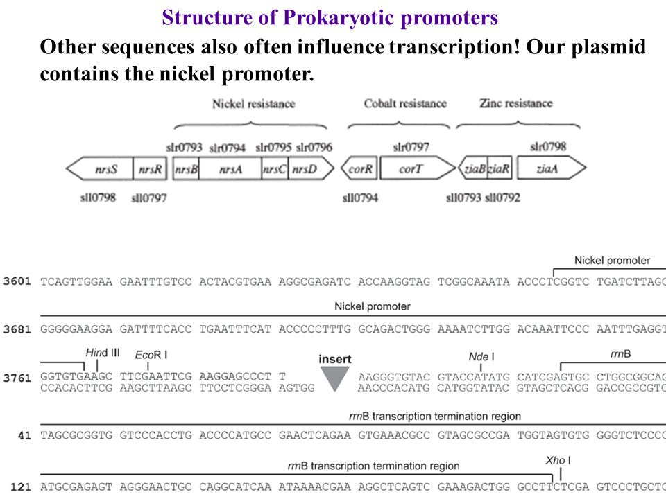 Structure of Prokaryotic promoters Other sequences also often influence transcription! Our plasmid contains the nickel promoter.