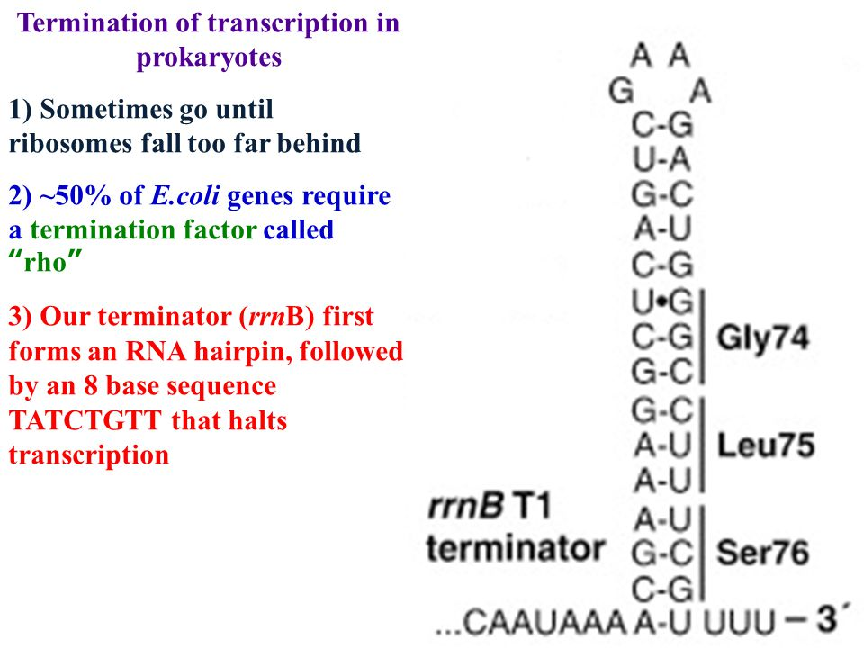 Termination of transcription in prokaryotes 1) Sometimes go until ribosomes fall too far behind 2) ~50% of E.coli genes require a termination factor c
