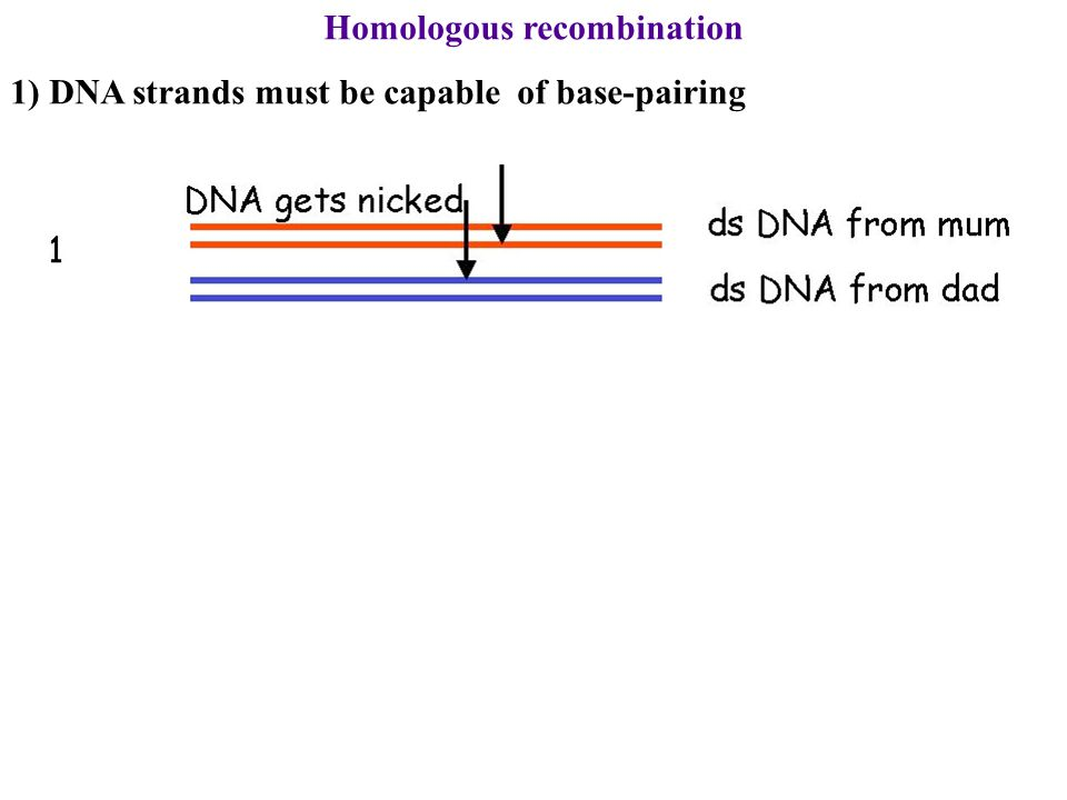 Homologous recombination 1) DNA strands must be capable of base-pairing