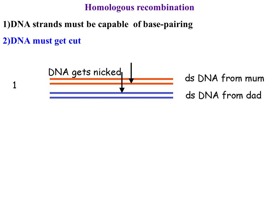 Homologous recombination 1)DNA strands must be capable of base-pairing 2)DNA must get cut