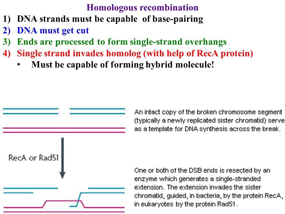 Homologous recombination 1)DNA strands must be capable of base-pairing 2)DNA must get cut 3)Ends are processed to form single-strand overhangs 4)Singl